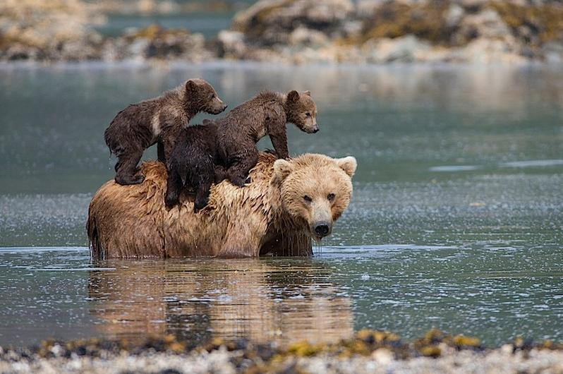 Bear cubs are left to drown by their mother,